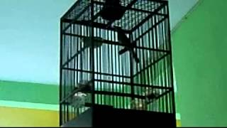 Cucak Kombo / Kecial Kombo Surabaya Gacor Download Mp3 Mp4 3GP HD Video