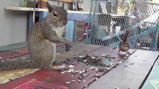 Nervous squirrel scared by birds