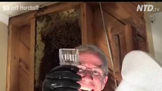 Massive bee hive removal from inside a wall