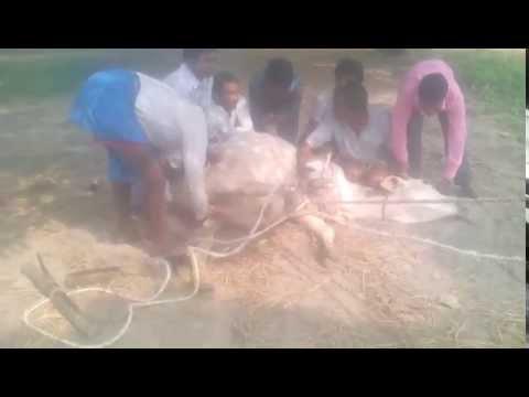 Ox making by bull using traditional system (goru sumareko)
