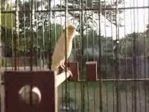 My Canary 2 Month old trying to singing