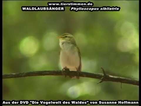 Waldlaubsänger mit dem schwirrenden Gesang Phylloscopus sibilatrix