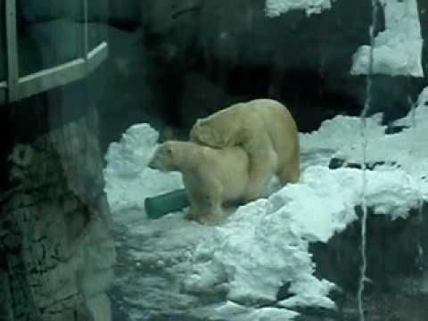 Xxx Mp4 Polar Bears XXX AVI 3gp Sex