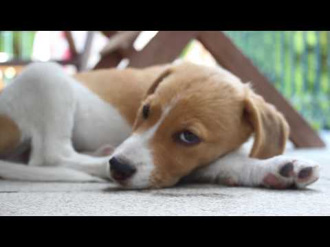 Xxx Mp4 Slepping Beagle Puppy Super Cute 3gp Sex