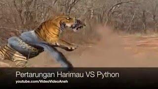 Anaconda Menyerang Macan   Pertarungan Nyata Ular Phyton VS Harimau