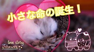 出産中 ① (苦手な方はスルーを) ♪ハムスター♪  Under childbirth. Hamster