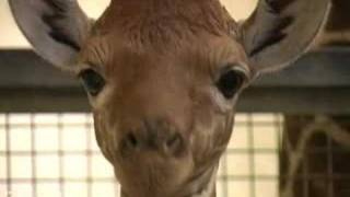 Baby giraffe up close