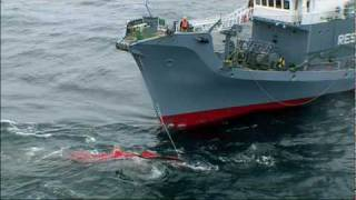 Whale Wars: Raw Whale Kill