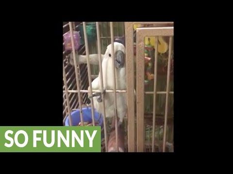 Jealous Cockatoo interrupts conversation on purpose