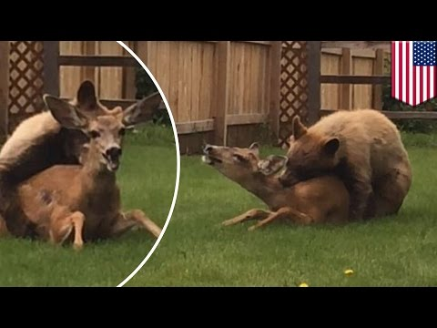 Rare moment caught on camera as bear mauls deer in Colorado backyard - TomoNews