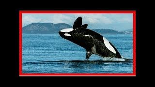 Menopausal killer whales are family leaders