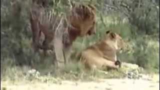 Lions Fuck جماع ملك الغابة