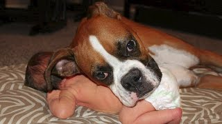 Boxer and Baby Compilation