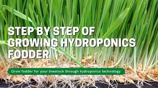 Growing hydroponics Fodder step by step