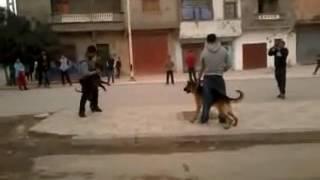 Video Plus - Berger allemand vs Pitbull Combat Part1