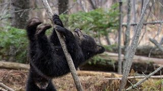 Funny Black Bear Cubs First Attempts to Conquer Treetops | BBC Earth
