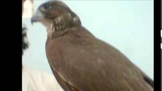 اجمل طير حر باكستاني  للبيع