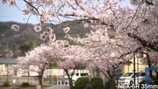 【Sakura Direct】Sakura 2014 & HDR-AS100V SONY ActionCam