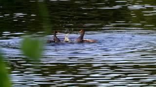 東港鎮嘉蓮濕地公園的紅冠水雞(20120701a)