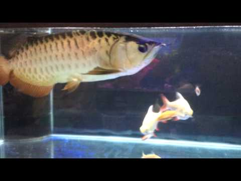 Fish.my sexy rays n 4 years old arowana HB