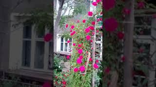 Пелишат ските рози