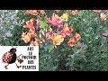 Download Video Download Conseils jardinage: alstroemeria lys incas: comment faire la taille et l'entretien :Plante vivace 3GP MP4 FLV