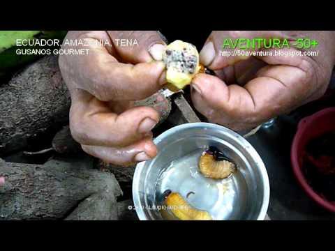 Ecuador Amazonia Gusanos gourmet medicinales