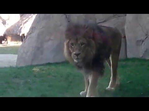 Alguna vez as visto el pene de un leon