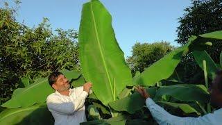 Organic Banana With Plantonics Organic Fertilizer केले की जैविक खेती
