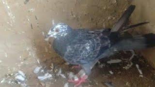 pigeon (Kabutar)  ki band pot or hari bith ka ilaj.by Dr imran khan