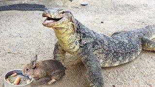 Lizard Swallows Feeder Rabbit Tail First