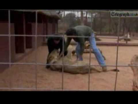 Terra TV Notícias Repórter é atacado por leão na África do Sul