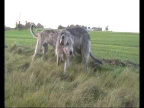 Irsk Ulvehunde på tur til søen