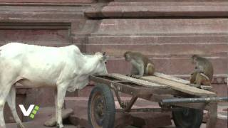 The Cow and the Monkey