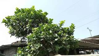65000 RUPEES!! TREE!! MARCUS FICUS BONSAI!!