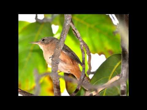 Canto Do Rouxinol Pássaros Do Brasil