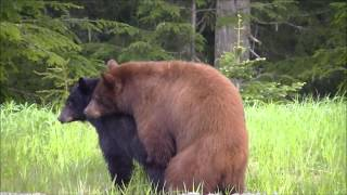 Young Whistler Bears Mating