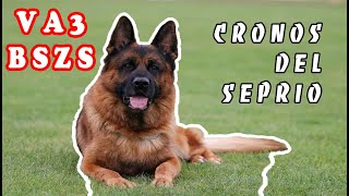 V1 Cronos del Seprio, Working class males, Dog show in Bellheim, Germany - GSD show-04/2017