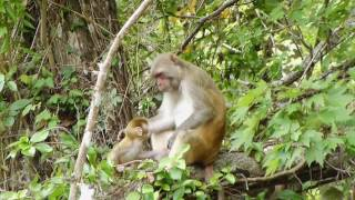 Monkeys On The Silver River