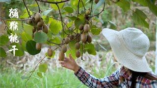 翻山越嶺來摘山上的獼猴桃,新鮮果子不能直接吃,摘回家放櫃子裏讓它變熟
