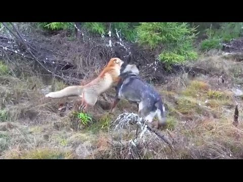 A Wild Fox And A Dog Met In The Woods...Next Is Going To Melt Your Heart