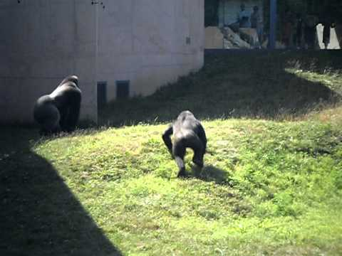Gorilla Fight at Philadelphia Zoo