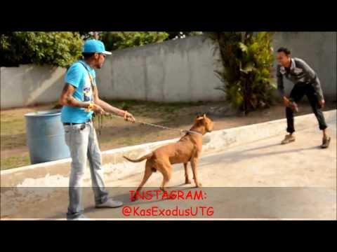 Vybz Kartel and Friends Having Fun. Playing With His Pitbull HappyTimes
