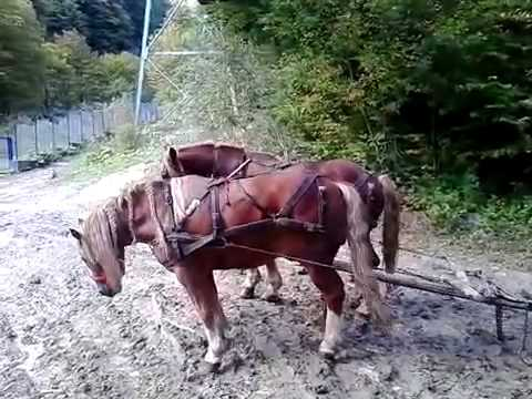 Caii lui Nică de la Intorsura Buzăului partea a 2 a