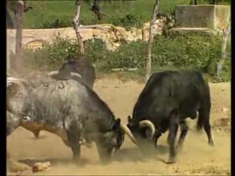 Pelea de Toros lucha a muerte