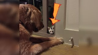 Kitten Raised By A Golden Retriever Now Thinks It's Actually A Dog