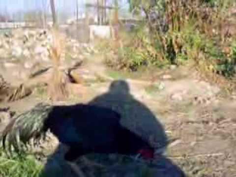 Solid Black O Shamo Stag in California