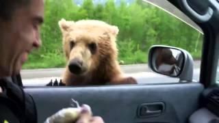 Улична мечка како улично куче