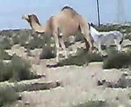 Xxx Mp4 Camel Amp Donkey 3gp Sex