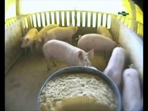 produccion de cerdos en familia parte 1